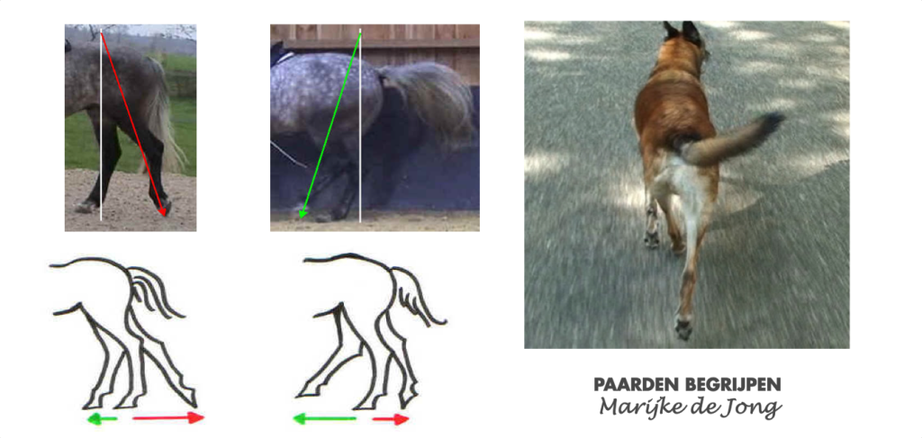 achterbenen-paard